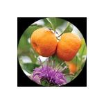 ashleigh burwood mandarin bergamot