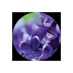 Ashleigh & Burwood Violet Musk