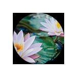 ashleigh burwood water lily