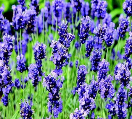 ashleigh-burwood-lavender-geurlamp-vloeistof-assortiment
