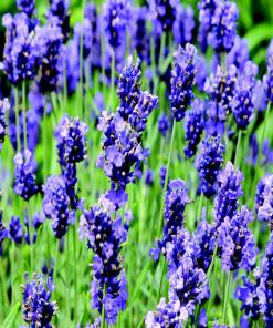 ashleigh-burwood-lavender